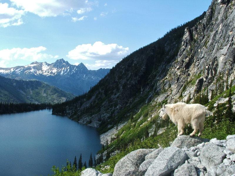 Rock Climbing Photo: Goat Surveying Traffic on Aasgard Pass