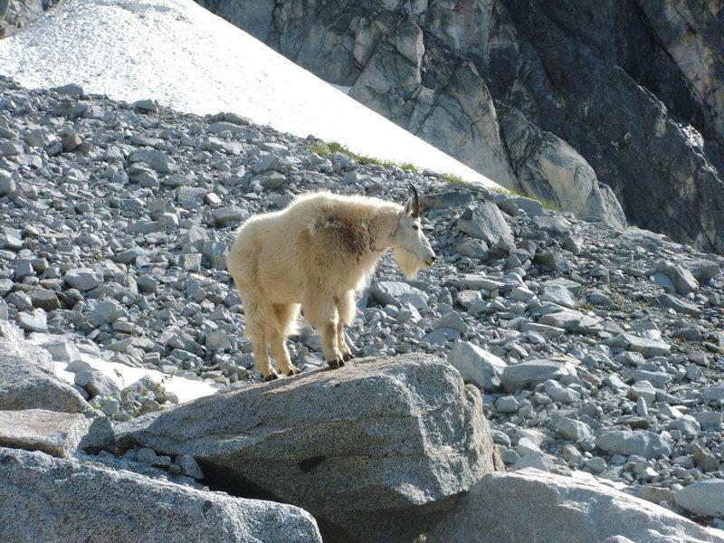Rock Climbing Photo: Goat on Aasgard pass