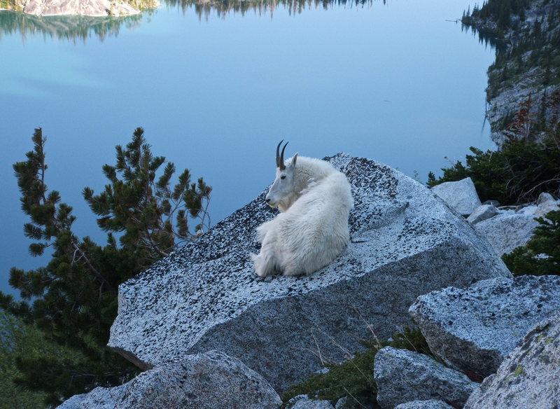 Goat on Aasgard pass