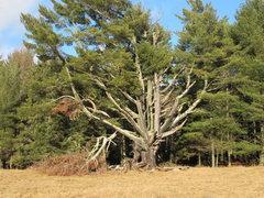 Rock Climbing Photo: The Pine