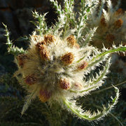 Rock Climbing Photo: alpine thistle (Cirsium scopulorum)