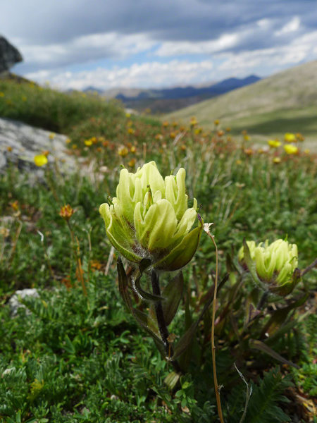 Indian paintbrush (Castilleja occidentalis)