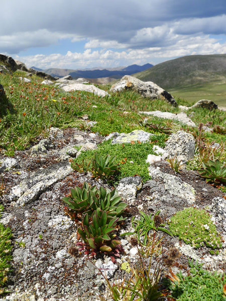 Rock Climbing Photo: alpine spring beauty, Claytonia megarhiza