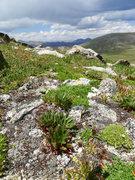Rock Climbing Photo: alpine spring beauty, Claytonia megarhiza