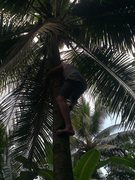 Rock Climbing Photo: Eric Coffman 1st ascent of a coconut tree