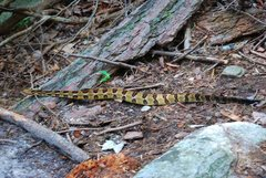 Rock Climbing Photo: A Timber Rattlesnake leaves the climbing scene and...
