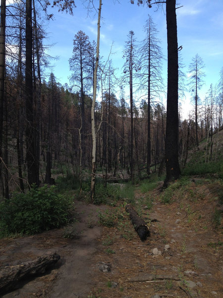 Approach trail to the Dungeon shortly after it reopened, post Las Conchas fire