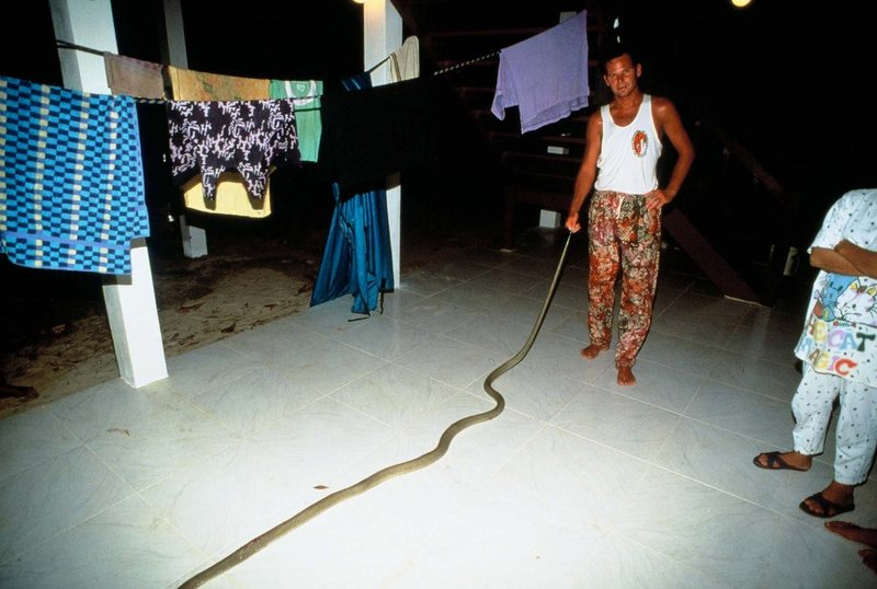 Rock Climbing Photo: King Cobra that showed up at my birthday party in ...