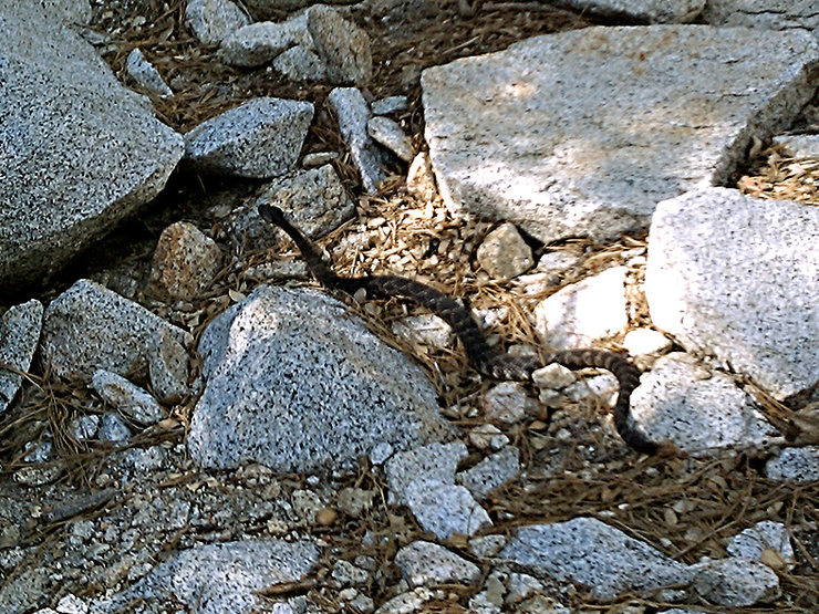 Western Pacific Rattlesnake at Suicide Rock