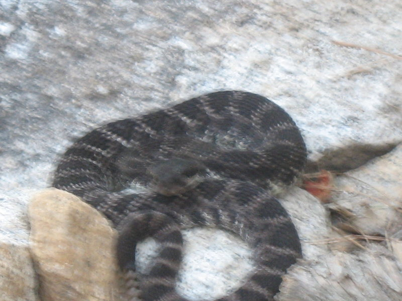 Rattler at suicide rock california