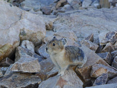 Rock Climbing Photo: Squeaky beasty (pika).