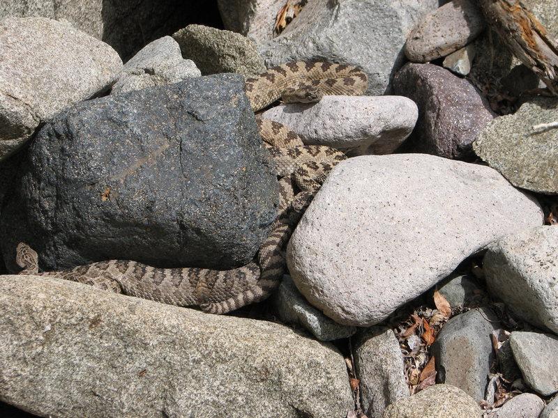 Rattlesnakes.