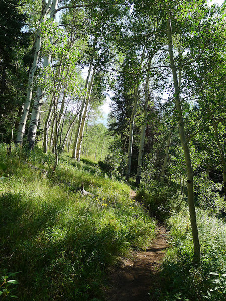 One of the many aspen groves on the Pitkin trail.