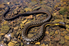 Rock Climbing Photo: Aguatic Two-Stripe Garter Snake. Seen in the shall...