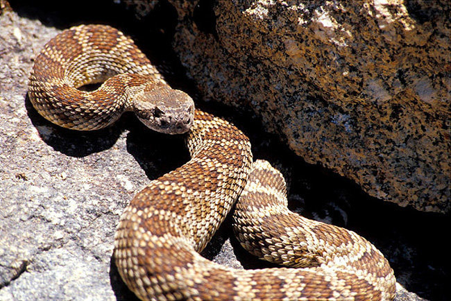 Northern Pacific Rattle Snake. Seen near the old lookout tower in the Needles.