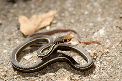 Rock Climbing Photo: Striped Racer.  Malibu Creek State Park.