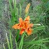 Wild Iris.