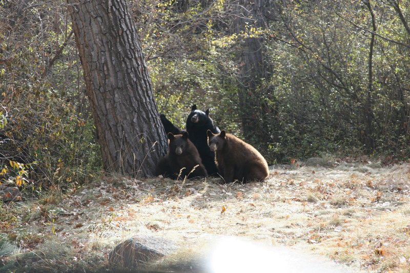 Bears in Gregory Canyon Boulder CO