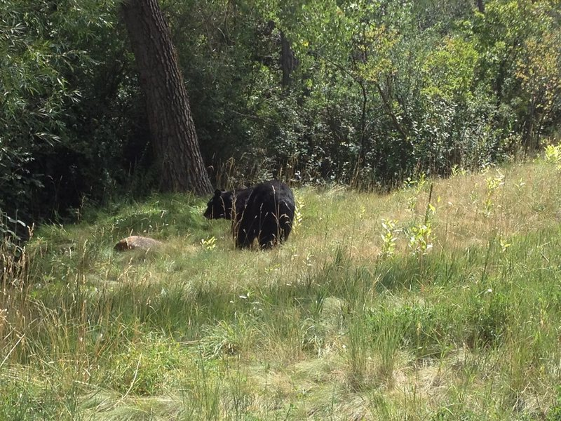 Bear in Gregory Canyon Boulder CO