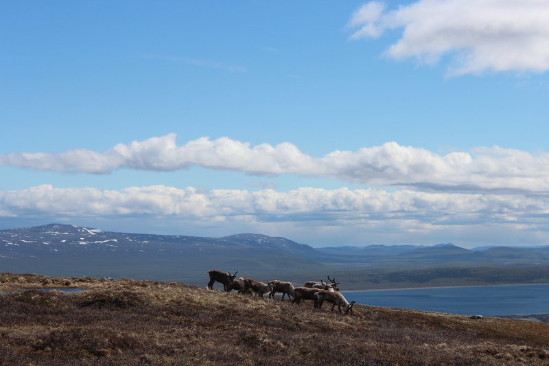some scenery near where I've been working the past 4 months in Northern Sweden@SEMICOLON@ Reindeer for scale :)