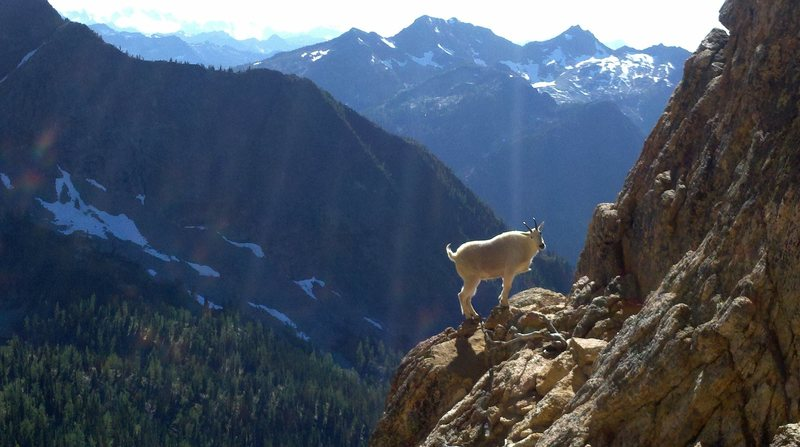 this goat is at the start of the route