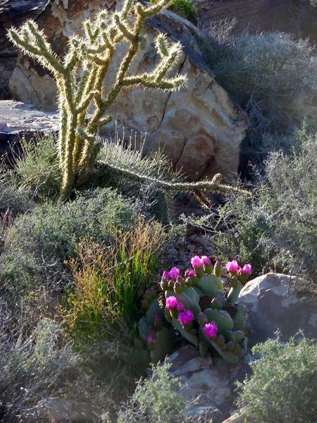 Mojave flora.