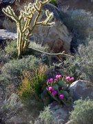 Rock Climbing Photo: Mojave flora.