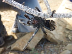 Rock Climbing Photo: TARANTULA!!!