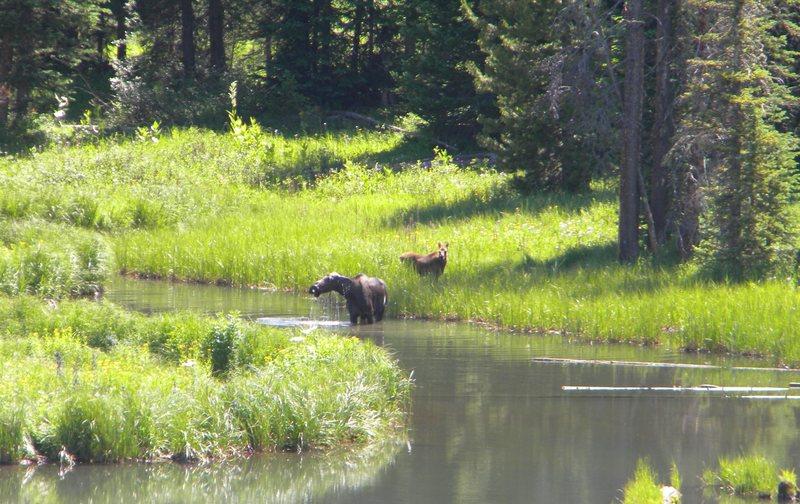 moose & calf on rabbit ears