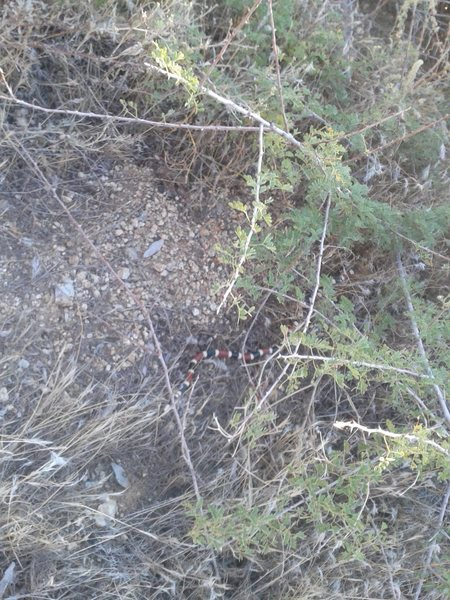 Rock Climbing Photo: Coral Snake sighting 9.24.12 on Tom's Thumb trail ...