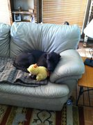 Rock Climbing Photo: A few weeks later.  He snuggles with Ducky when I ...