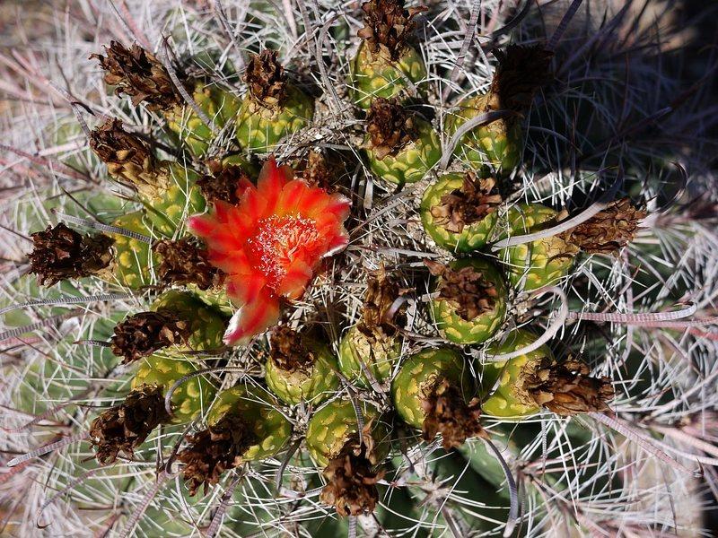 Rock Climbing Photo: Maybe a barrel cactus?  September 2012.