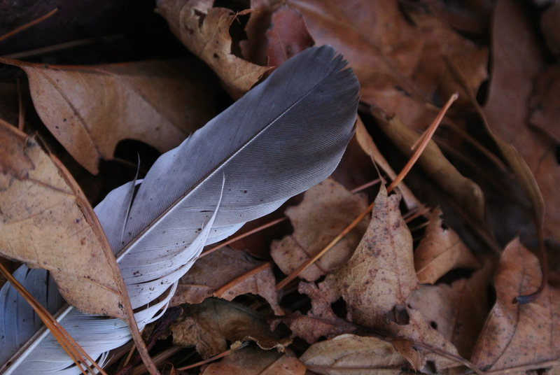 Feather within the leaves.  East Bluff.  Fall 2012. Photo by Grace Lindquist.