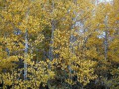Rock Climbing Photo: Aspen trees, Sierra Eastside