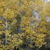 Aspen trees, Sierra Eastside