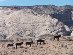 Rock Climbing Photo: Wild Burros near Three Finger Canyon . Crockett