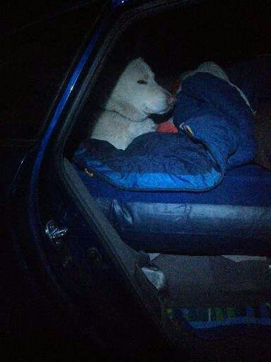 dog in Prius on mattress