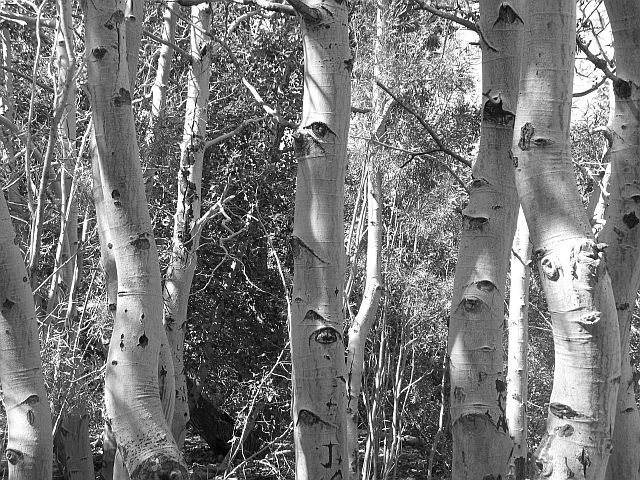 Rock Climbing Photo: Aspen trees, Convict Lake