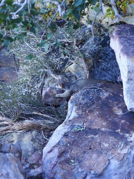 ringtail on the Birdland rap ledge