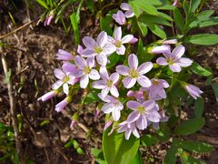Rock Climbing Photo: Spring Beauties