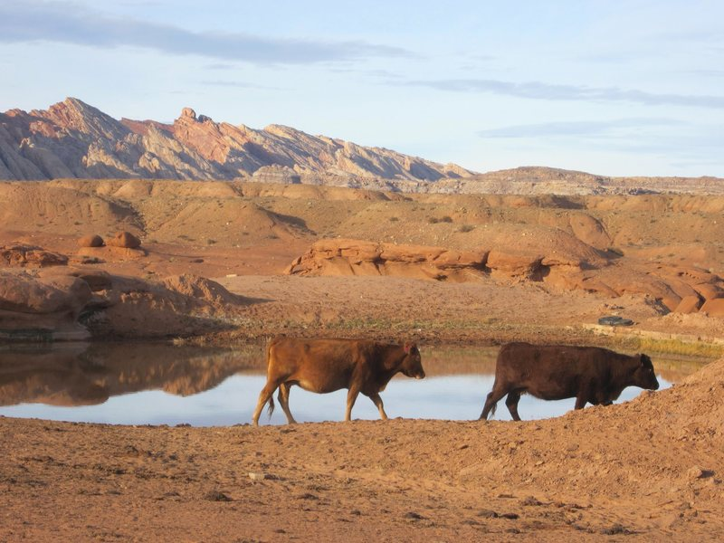 Desert Cows at the nearbye watering hole