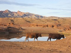 Rock Climbing Photo: Desert Cows at the nearbye watering hole