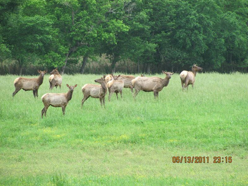 ozark elk