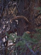 Rock Climbing Photo: In the large Doug. Fir behind the route look for S...