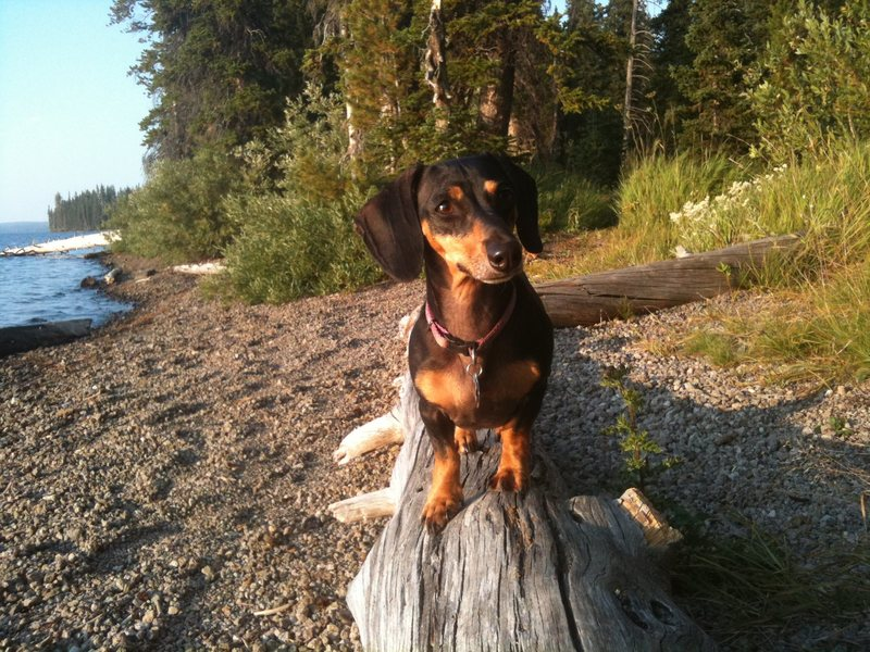 Here's a pic of my dog in yellowstone this summer