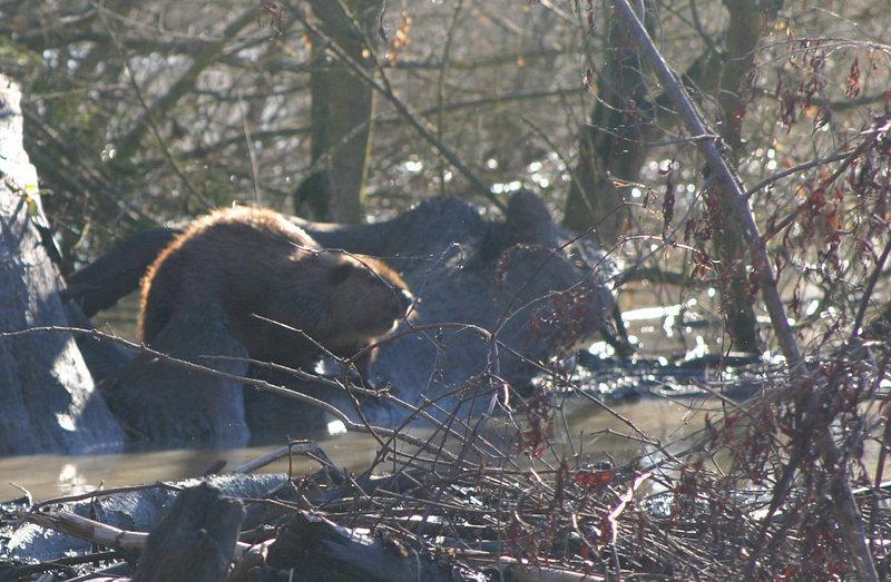 Beaver, Sutter Bypass