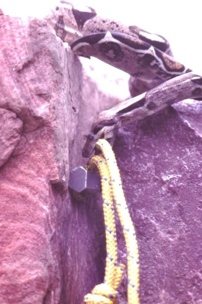 Rock Climbing Photo: Snake named Yvon, well trained and placing gear up...