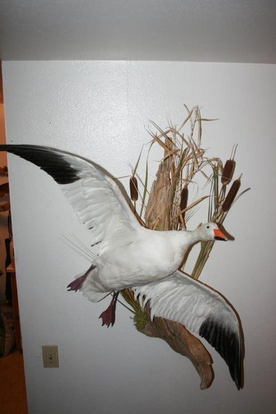 Rock Climbing Photo: snow goose