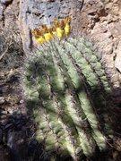 Rock Climbing Photo: Huge Barrel Cactus