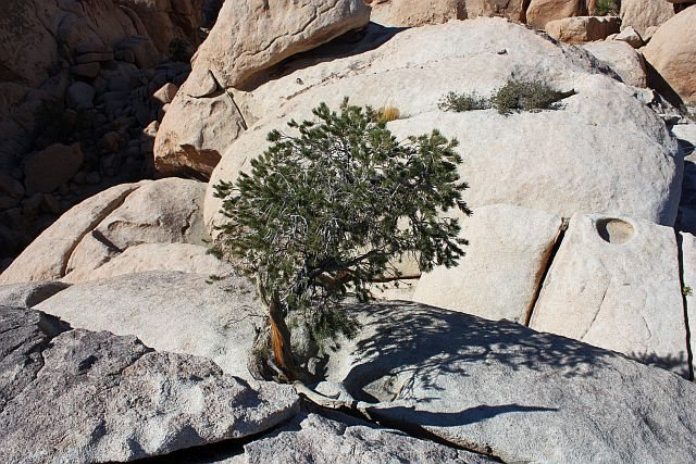 A hardy pine atop the DQ Wall (Right Side), Joshua Tree NP